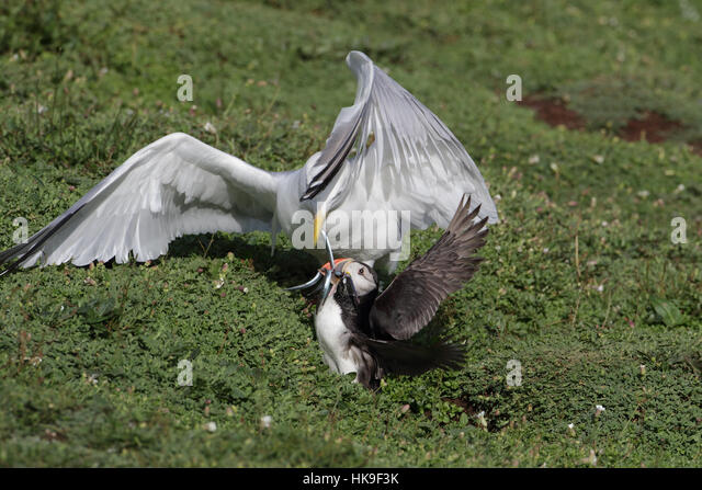European Herring Gull (larus argentatus) adult plumage, attacking Atlantic Puffin (Fratercula artica) for their - Stock-Bilder