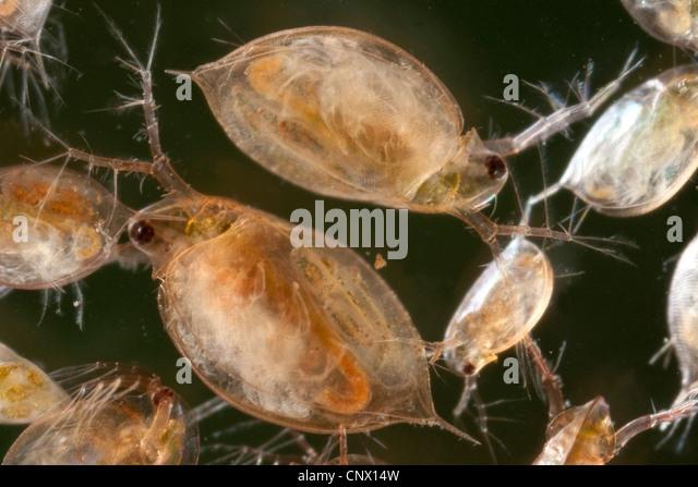 common water flea (Daphnia pulex), female with juveniles in the brood ...