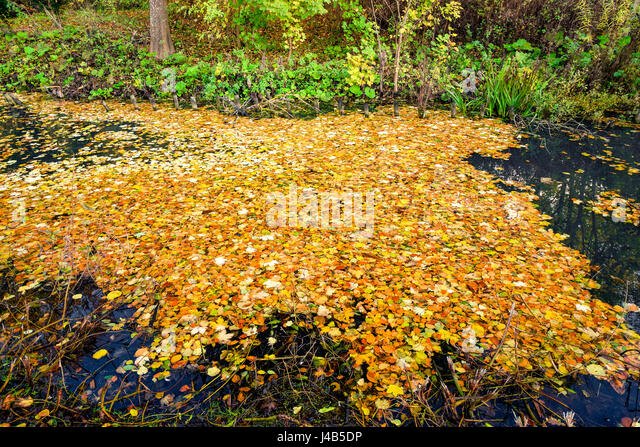 Lake covered with colorful autumn leaves in yellow and orange colors in autumn in a forest in the fall - Stock Image