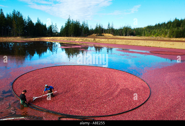 Cranberry Harvesting - Stock Image