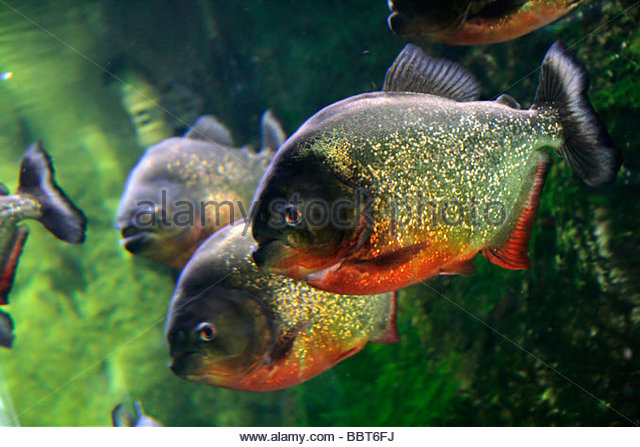 Red bellied stock photos red bellied stock images alamy for Pacu fish for sale