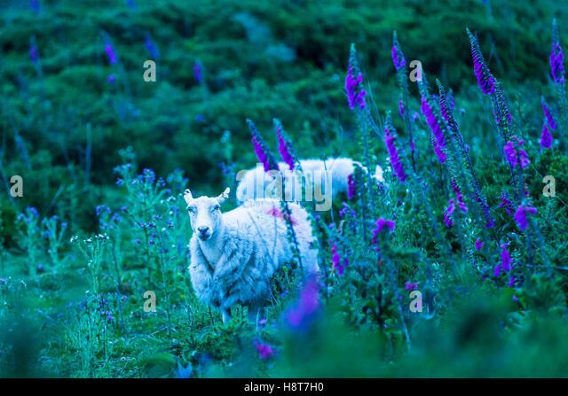 Sheep grazing on the hills of Shropshire among purple blue flowers. - Stock Image
