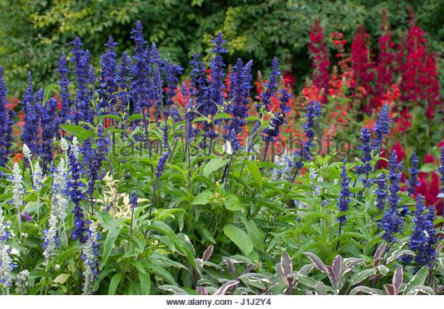 Massif fleuri stock photos massif fleuri stock images for Plante bleue