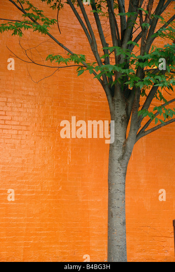 Urban Scene of a Lone Young Tree Against a Vibrantly Painted Orange Brick Wall Copy Space - Stock Image