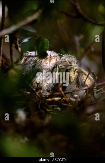 cattle egret Bubulcus ibis juvenile Saint Lucie County PSL N Fork Saint Lucie River - Stock Image