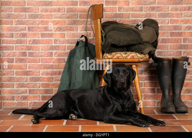 Black Labrador lying in front of chair, next to rubber boots and hunting gear - Stock Image