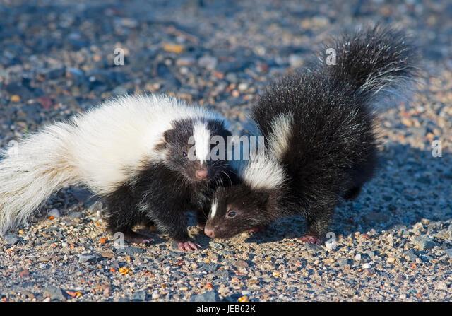 Baby Skunks - Stock Image