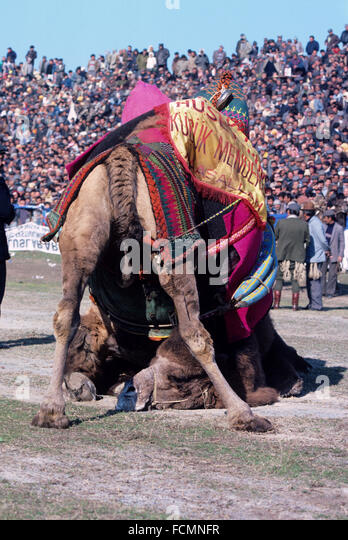 Wrestling Camels at the  Annual Camel Wrestling Championship held in the Antique Stadium at Ephesus Selçuk - Stock Image