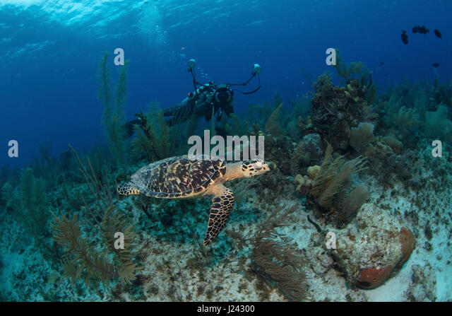 Underwater photographer capturing a shot of a turtle in the Cayman islands - Stock-Bilder