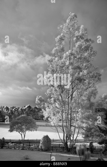 Eucalyptus tree and polo grounds la Sabana near Bogota Colombia - Stock Image
