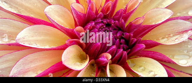 Dahlia (Gitts Crazy) close up. Oregon - Stock Image