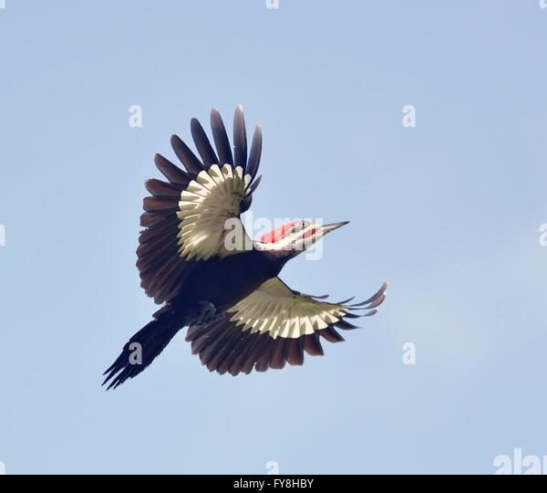 Male Pileated Woodpecker in Flight - Stock-Bilder