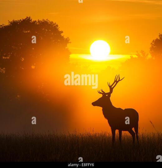 Lone deer at sunset - Stock Image