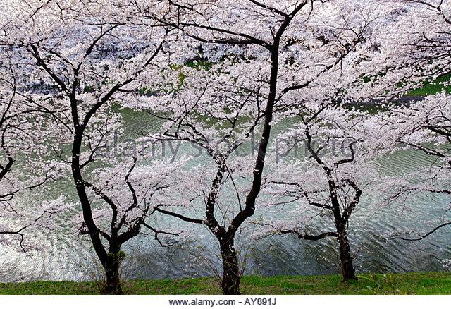 cherry blossom tree in the Chidori ga Fuchi Park in Tokyo - Stock Image