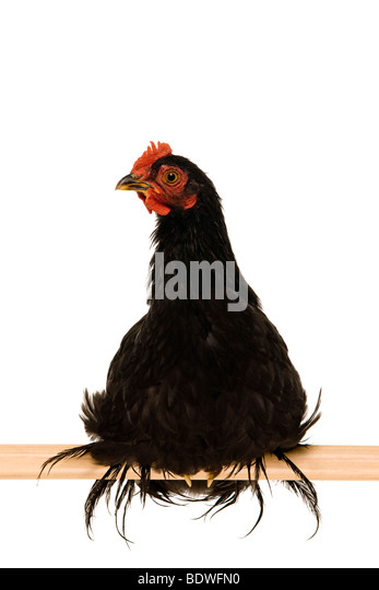black cochin rooster black rooster - Stock Image