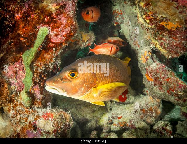 Bass fish swimming at underwater reef - Stock Image