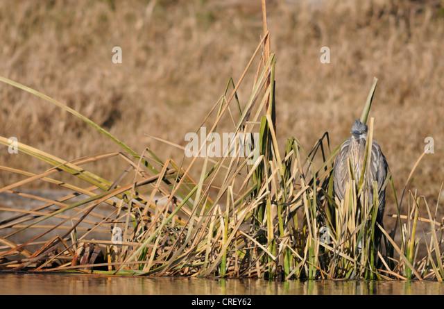 Great Blue Heron (Ardea herodias), immature camouflaged in reeds, Dinero, Lake Corpus Christi, South Texas, USA - Stock Image