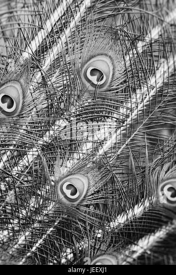 Detail of peacock feathers. Exotic bird plumage. Wildlife pattern with eyes. - Stock-Bilder