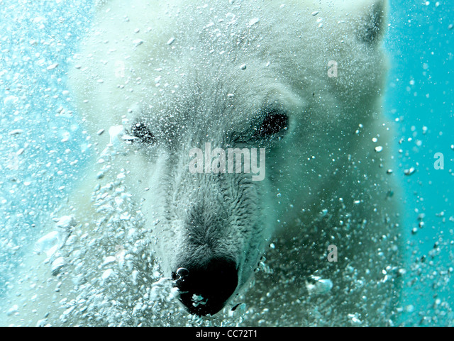 Close-up of Polar bear (Ursus maritimus) swimming underwater and blowing air bubbles - Stock Image