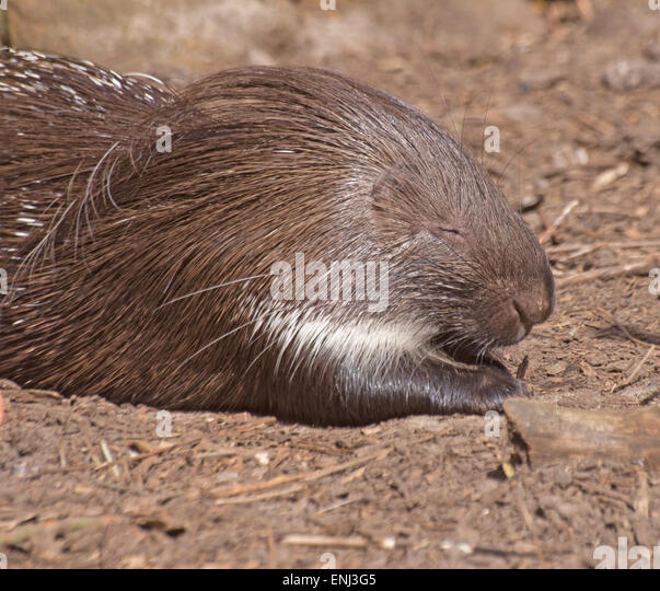 porcupine hindu singles Porcupine: porcupine, any of 25 species of large, herbivorous, quill-bearing rodents active from early evening to dawn it comprises a single species.