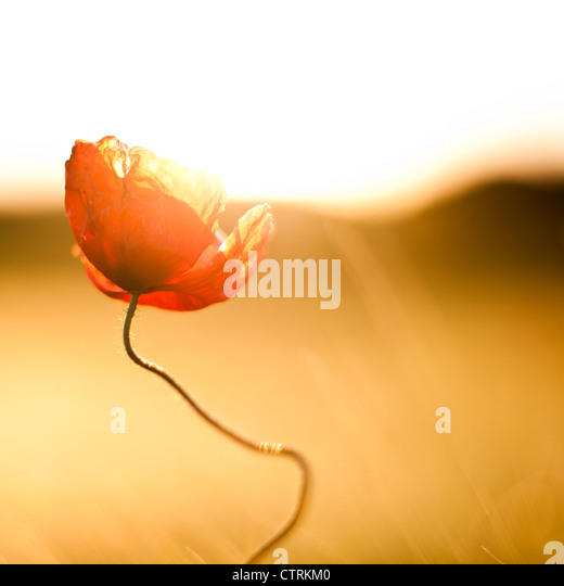 Poppy flower against the light - Stock Image