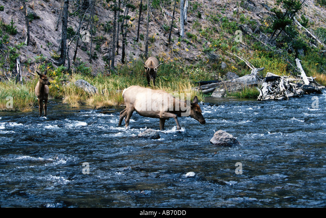 A cow and calf elk or wapiti Cervus canadensis cross a river in Yellowstone National Park Wyoming COPYRIGHT DUANE - Stock Image