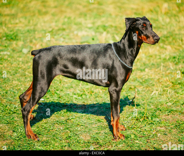 Young, Beautiful, Black And Tan Doberman Standing On Lawn. Dobermann Is A Breed Known For Being Intelligent, Alert, - Stock Image