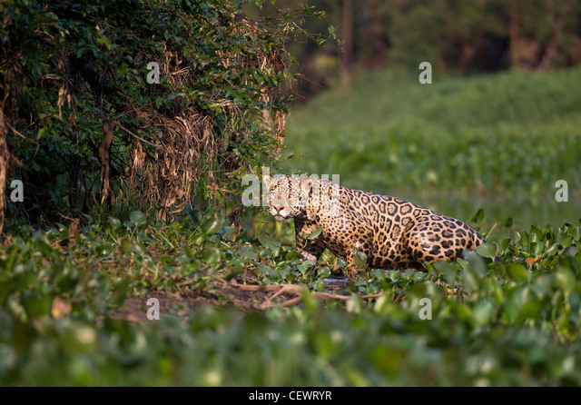 Wild male Jaguar emerging from Water Hyacinth at the edge of a tributary of Cuiaba River, Northern Pantanal, Brazil. - Stock-Bilder