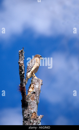 Birds Red shouldered Hawk perched in top of dead tree blue sky - Stock Image