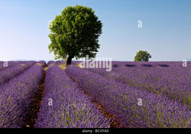 Lavender field near Valensole France - Stock Image