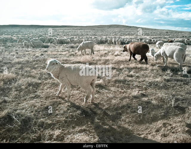 Herd of sheep - Stock Image
