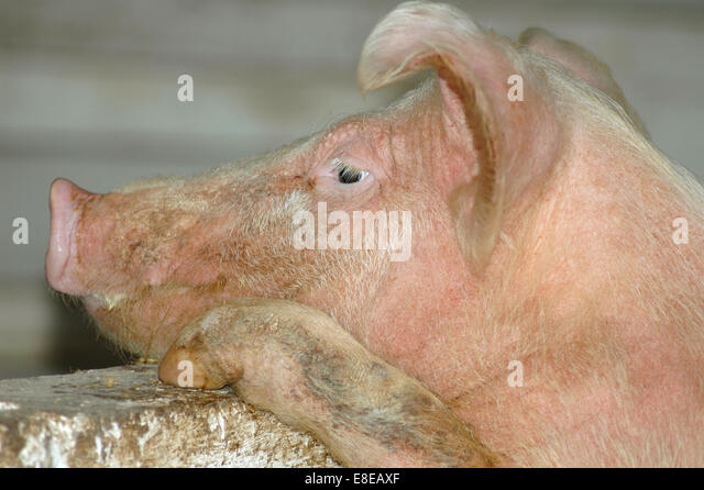 Pig looking over wall - Stock Image