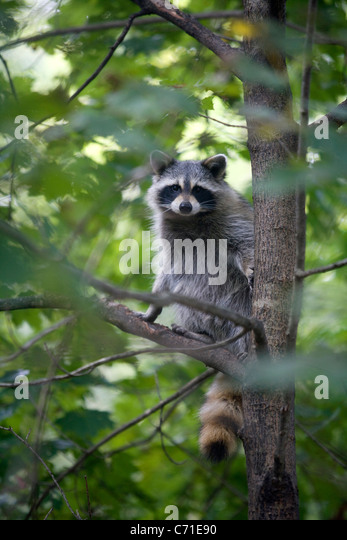 raccoon in a tree - Stock Image