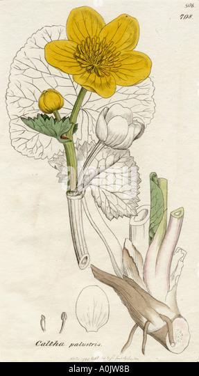 Caltha palustris Marsh Marigold from 19th century print - Stock Image