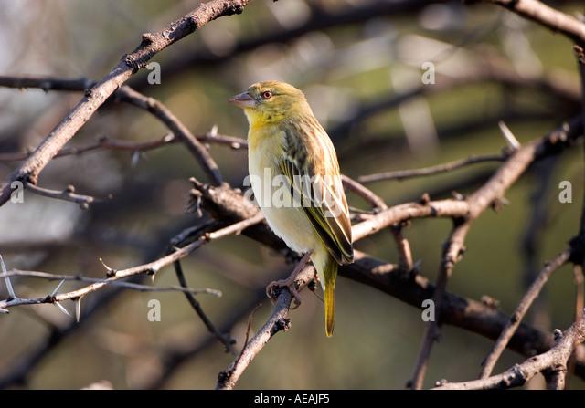 Weaver Bird - Stock Image