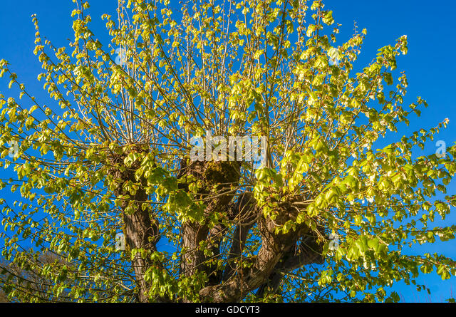 Fresh leaves on Tilleul tree branches - France. - Stock Image