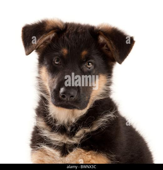 German Shepherd Dog puppy at nine weeks old - Stock Image