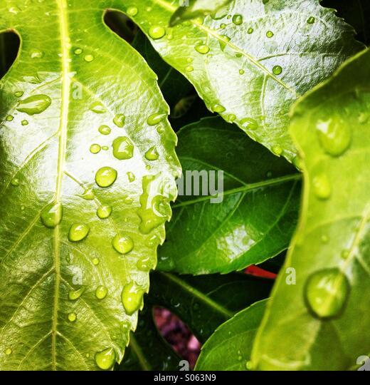 Rain drops on polished leaf - Stock-Bilder
