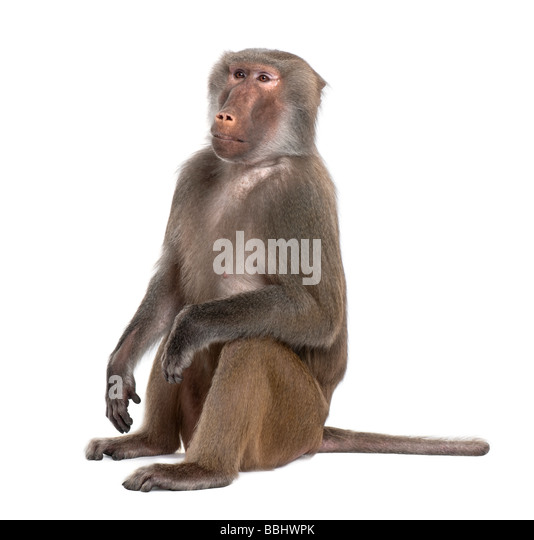 Baboon Simia hamadryas in front of a white background - Stock Image