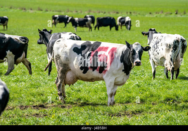 GRAM, DENMARK - APRIL 23 - 2017: Black and white cow with the danish ecology stamp on the skin grazing on a green - Stock Image