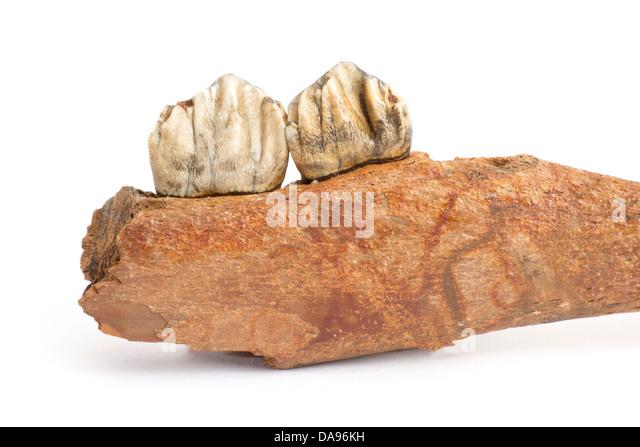 Pine, Jaw, gigantic deer, Megalocerus giganteus germanicus, Pleistocene, fossil, fossilization, primeval times, - Stock Image