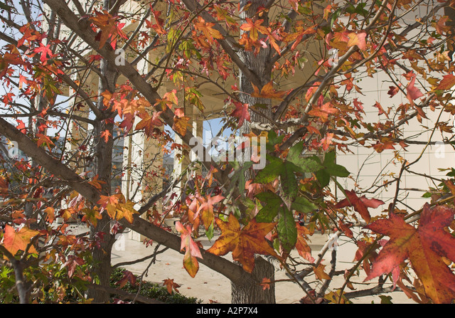 Closeup view of the changing colors of the leaves in December at  the J. Paul Getty Museum in Los Angeles, CA. - Stock Image