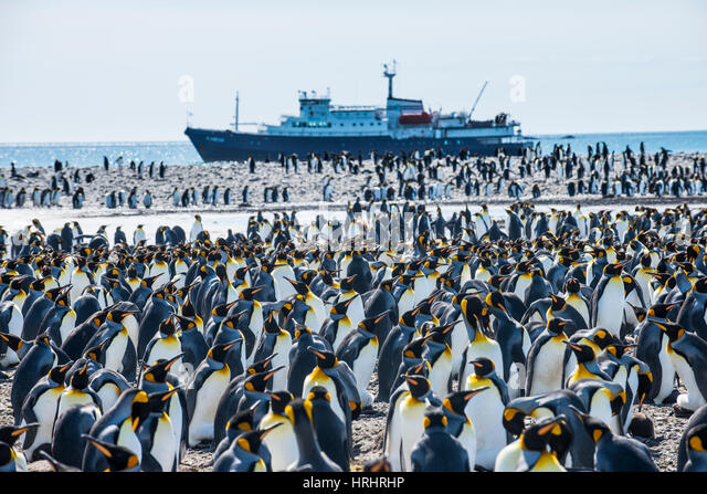 Giant king penguin (Aptenodytes patagonicus) colony and a cruise ship, Salisbury Plain, South Georgia, Antarctica, - Stock-Bilder