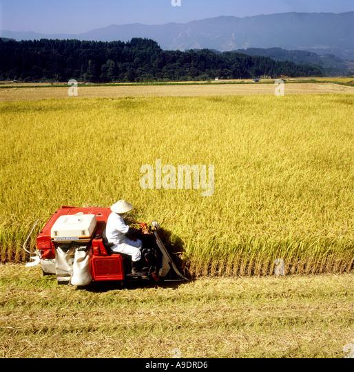 Rice harvest Japan - Stock-Bilder