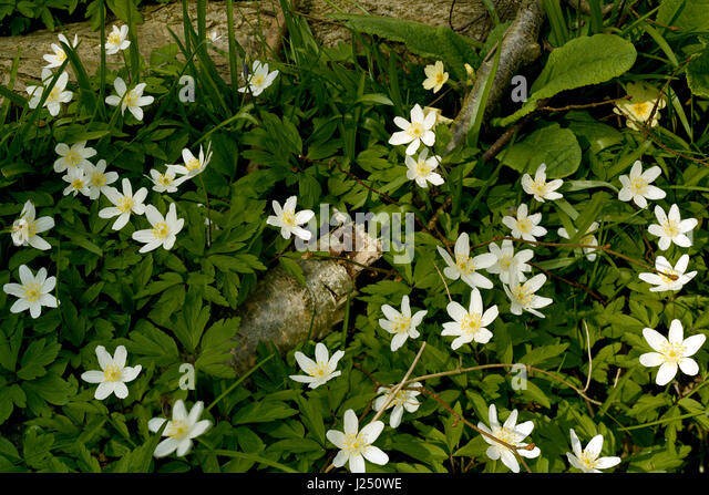 Wood anemone in Cambridgeshire wood - Stock Image