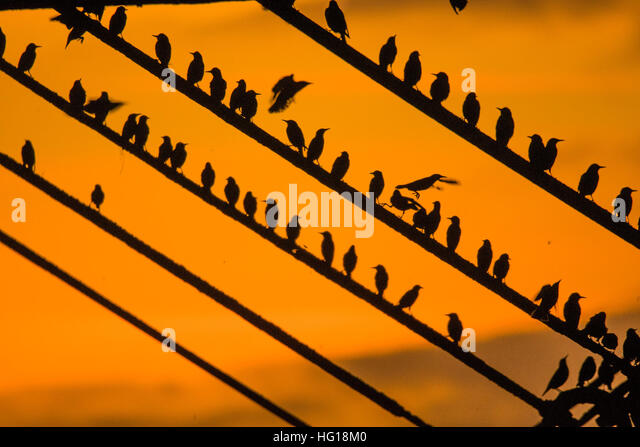 Aberystwyth, Wales, UK. 04 January 2017. UK Weather: Thousands of tiny starlings return from the feeding grounds - Stock Image