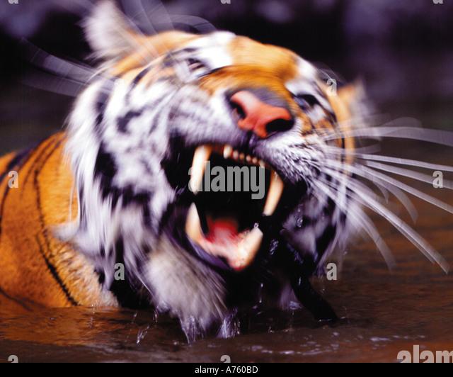 Siberian tiger swimming in river - Stock-Bilder