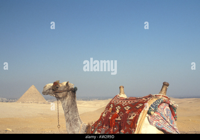 Egypt Giza camel with pyramid in background - Stock Image