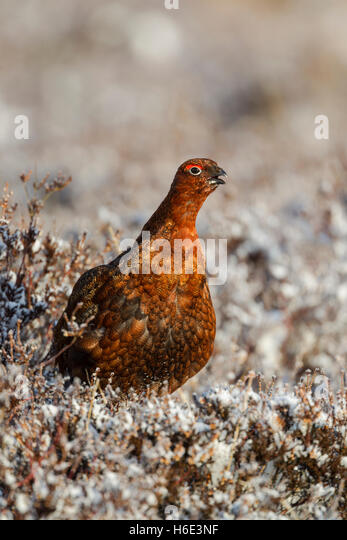 Male red grouse, Latin name Lagopus lagopus scotica, among frosted heather and calling - Stock Image