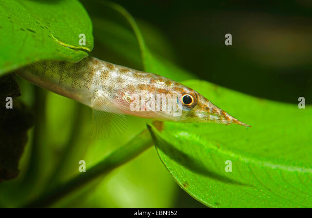 Indian green spiny eel; Spotted spiny eel (Macrognathus pancalus, Mastacembelus pancalus), portrait amongst water - Stock Image